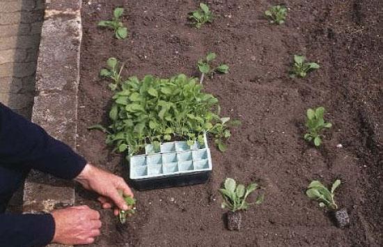 Как правильно выращивать перец в теплице