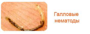 Галловые нематоды