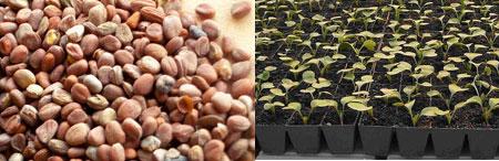 Выбор семян редиса