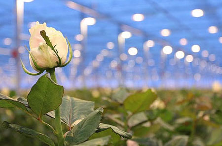 Освещение для роз в теплице