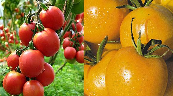 Сорта томатов для теплиц - Де Барао