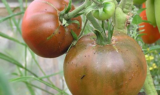 Сорта томатов для теплиц - Черный принц