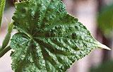 Болезни огурцов в теплице и борьба с вредителями