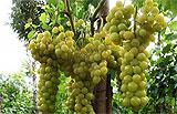 Выращивание винограда в теплице - лучшие сорта