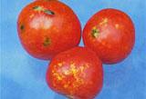 Чернеют и трескаются помидоры в теплице - все болезни томатов