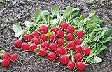Выращивание редиса в теплице - посадка и уход