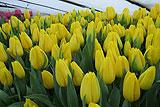 Выращивание тюльпанов в теплице - выгонка и цветение в срок