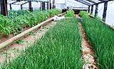 Выращивание лука в теплице - советы и секреты
