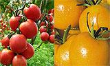 Лучшие сорта томатов для теплиц и самые урожайные из них